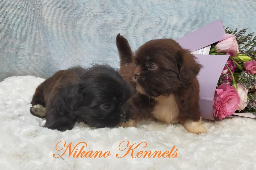 Shih Tzu Liverline Puppies For Sale Pets For Sale Dog