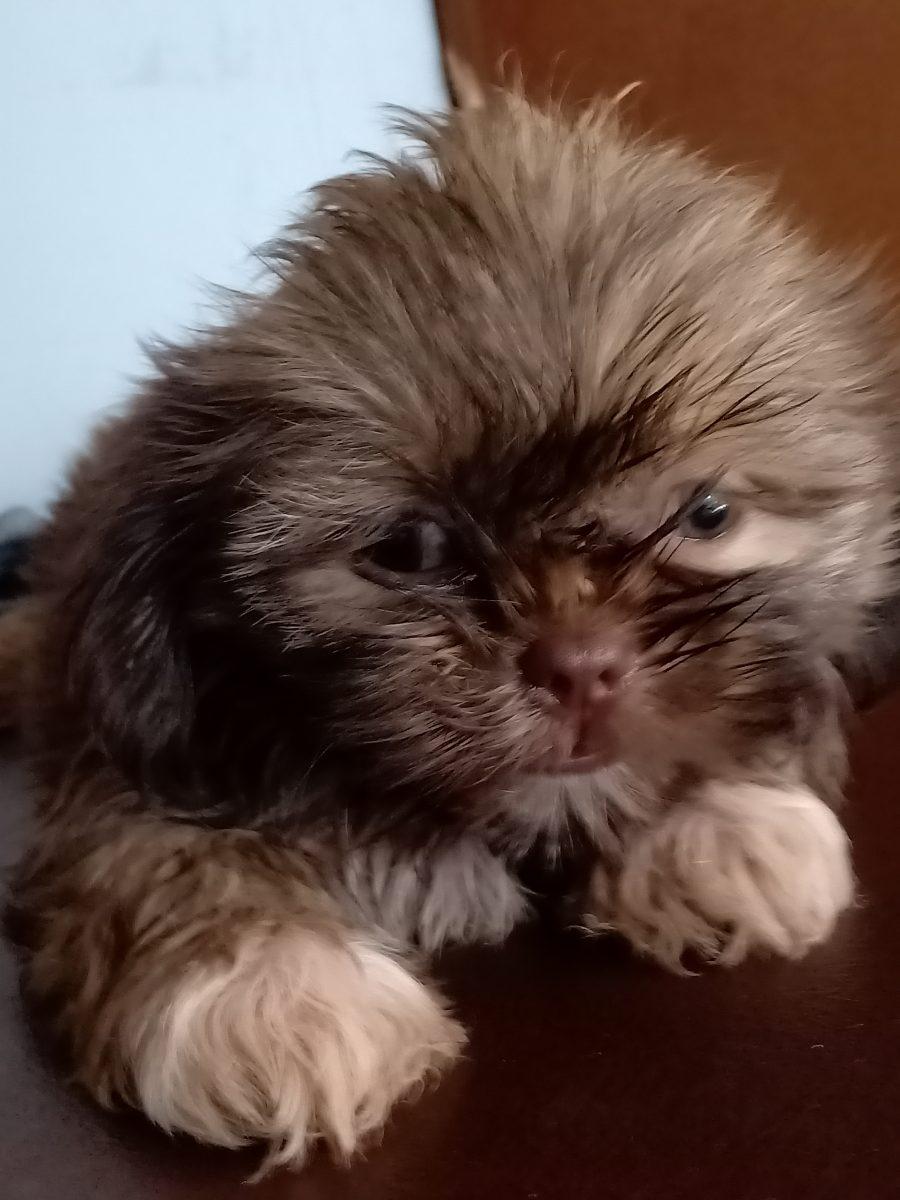 Quality Shih Tzu Puppy Liver Line Liver Nose Pets For Sale Dog Engine Philippines
